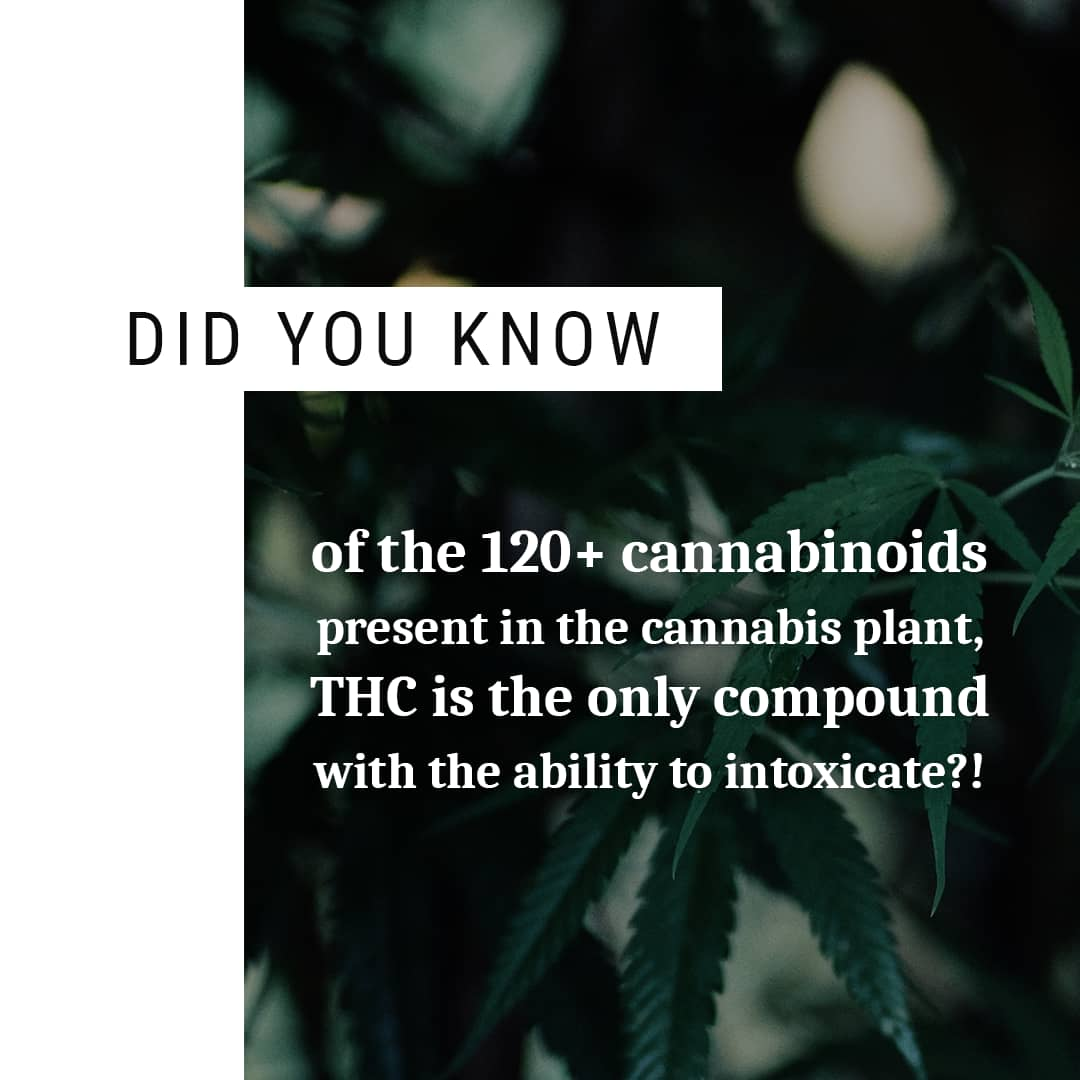 Random Fact: Did you know of the 120+ cannabinoids present in the cannabis plant, THC is the only compound with the ability to intoxicate?!