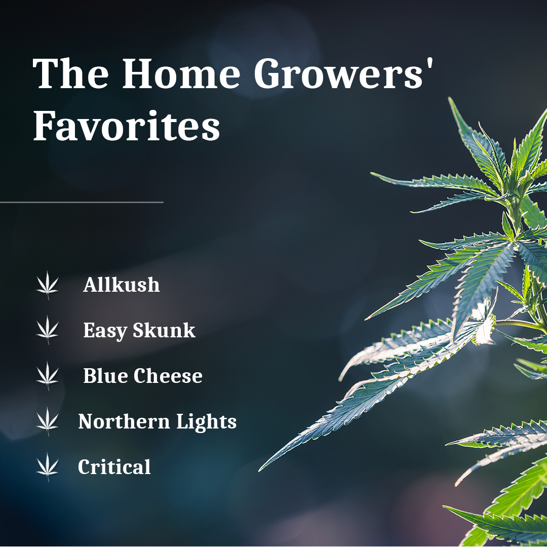 Home growers' favorite cannabis strains