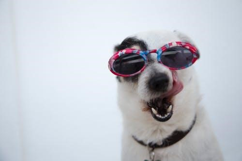 Dog with sunglasses in the snow